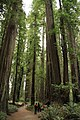 Stout Memorial Grove in Jedediah Smith Redwoods State Park in 2011 (14).JPG