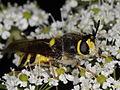 Stratiomys chamaeleon (Stratiomyidae) (7614190126).jpg