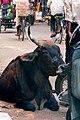 Street bovine in Mysore (5939206968).jpg