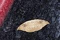 Strepsigonia diluta takamukui (37370871745).jpg