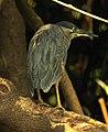 Striated Heron Butorides striata by Dr. Raju Kasambe DSCN0777 (18).jpg