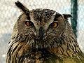 Strigiformes- Owl - جغد، پرنده شکاری 03.jpg