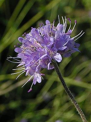 Succisa pratensis - Image: Succisa pratensis 01