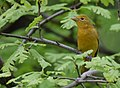 Summer Tanager (33744048113).jpg