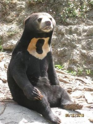 English: One of Wellington Zoo's sun bears rel...