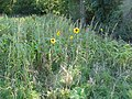 Sunflowers at the north end of Stoney Copse - geograph.org.uk - 1493856.jpg