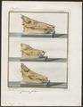 Sus scrofa domestica - schedel - 1700-1880 - Print - Iconographia Zoologica - Special Collections University of Amsterdam - UBA01 IZ21900149.tif