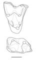 Swaindelphys molars.png
