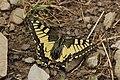 Swallowtail - Papilio machaon (43643066464).jpg