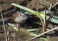 Swamp Sparrow (WORKS) (32511333641).jpg