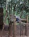 Sykes' monkey, Nairobi National Park.jpg