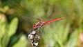Sympétrum à nervures rouges (mâle) (Sympetrum fonscolombii) (17898902088).jpg