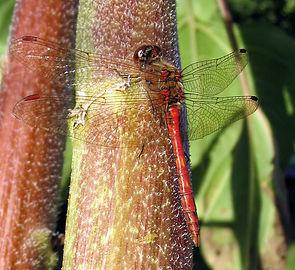 Große Heidelibelle (Sympetrum striolatum), ♂