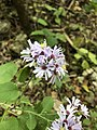 Symphyotrichum drummondii 55449295.jpg