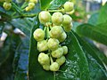Syzygium aqueum buds 3.jpg
