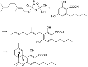 Tetrahydrocannabinol - Biosynthesis of THCA