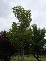 Tabáni Park Botanikai Tanösvény. Silver maple (Acer saccharinum).- Budapest.JPG