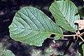 Tabebuia ochracea 4zz.jpg