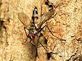 Tachinid Fly - Flickr - treegrow (3).jpg