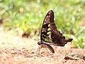 Tailed jay from Savandurga IMG 9924.jpg