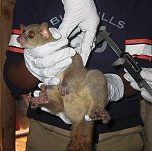Male northern giant mouse lemur being held while calipers are used to measure its testicle size.