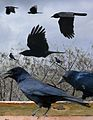 Tamaulipas Crow From The Crossley ID Guide Eastern Birds.jpg