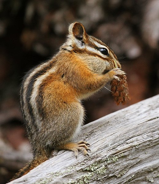 This is a chipmunk. It does not sing and dance. It does drink massive amounts of coffee.