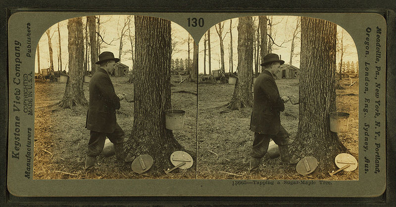 File:Tapping a sugar-maple tree, Ohio, by Keystone View Company.jpg