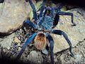 Tarantula azul.jpg