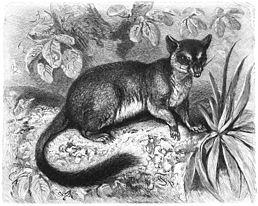 Phascogale tapoatafa