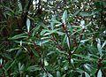 Tasmannia lanceolata - Flickr - peganum.jpg
