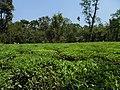 Tea garden 31118.jpg