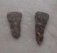 Teeth of Yuanmou Man (Cast) - cropped.png