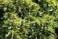 Teguise Guatiza - Jardin - Euphorbia neriifolia 07 ies.jpg