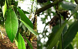 Tepa (Laurelia phillipiana) - leaf & fruit.jpg