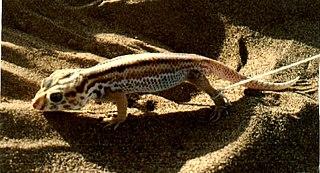 <i>Teratoscincus scincus</i> species of reptile
