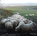 Terrified Sheep - geograph.org.uk - 669603.jpg