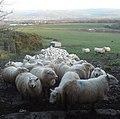 Terrified Sheep - geograph.org.uk - 669603.jpg