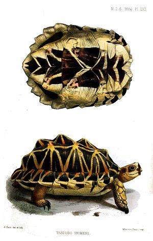 Tent tortoise - Image: Testudo Trimeni Smit