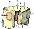 Testut's Treatise on Human Anatomy (1911) - Vol 1 - Fig 395.png