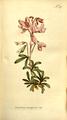 The Botanical Magazine, Plate 317 (Volume 9, 1795).png