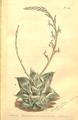 The Botanical Magazine, Plate 455 (Volume 13, 1799).png