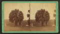 The Palmetto tree, from Robert N. Dennis collection of stereoscopic views.png