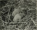 The bird, its form and function (1906) (14569021489).jpg