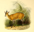 The book of antelopes (1894) Cephalophus rufilatus.png