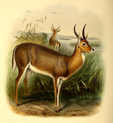 The book of antelopes (1894) Cervicapra arundinum.png