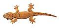 Thecadactylus oskrobapreinorum - ZooKeys-118-097-g004-f.jpg