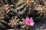 Thelocactus bicolor - 大統領(だいとうりょう) (3897866806).jpg