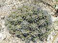 Thelocactus leucacanthus v. schmollii (5780762944).jpg