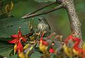 Thick-billed Flowerpecker (Dicaeum agile) on Helicteres isora W2 IMG 1383.jpg